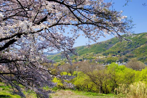 Киото ботанический сад японский сад сакура цветущая