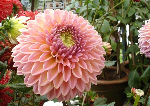 Фото многолетних садовых цветов