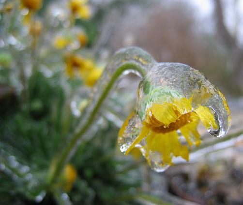 обледенелый желтый цветок природа фотозарисовка