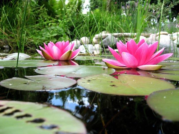 пруд с лилиями на даче