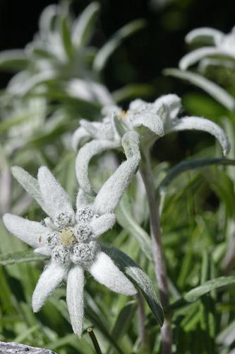 флора цветы природа фото пиренеи