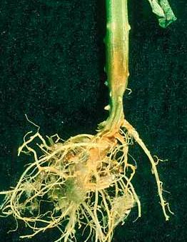 Как выглядит пораженный корневой гнилью ствол огурца