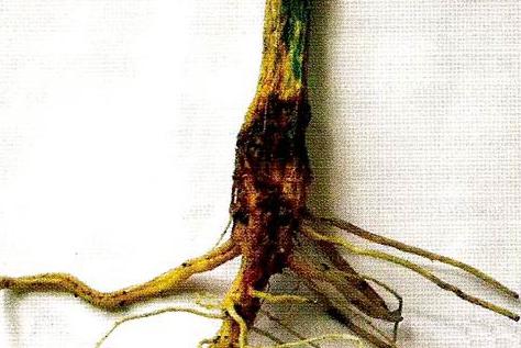 Пример корневой гнили