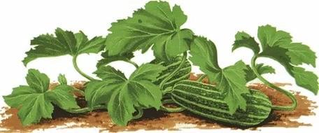 Грядка для кабачка и тыквы