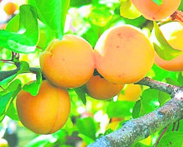 Среднерослые сорта абрикосов для Подмосковья