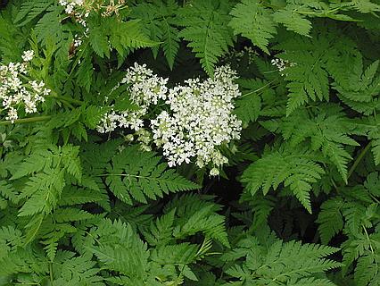 Растение кервель