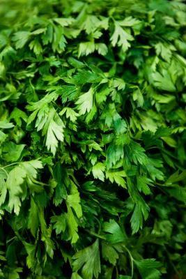 Как выращивать зелень кинзы