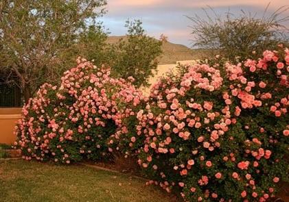 Уход за декоративными розами