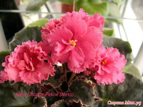 Розовая фиалка
