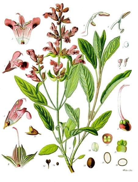 Шалфей лекарственный - внешний вид растения