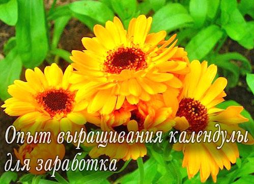 Календула - выращивание