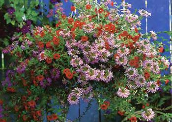Ампельные цветы и растения в озеленении балконов и террас 2