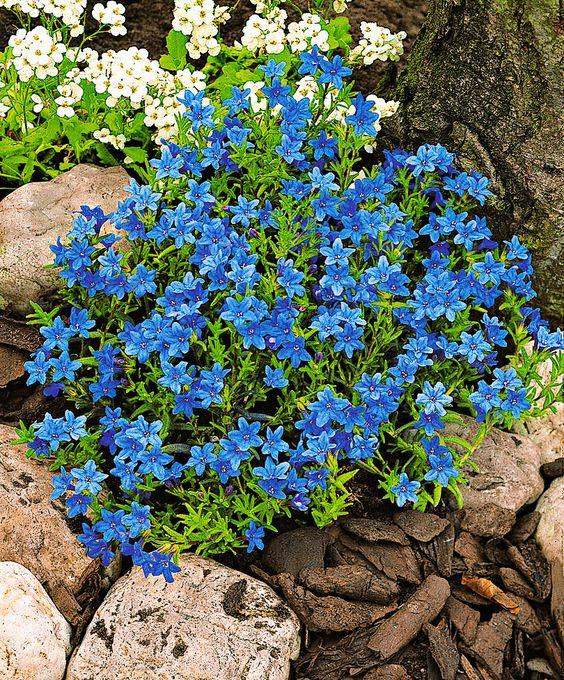 Литодора, Литосперум, Воробейник - прекрасное растение для альпийских горок
