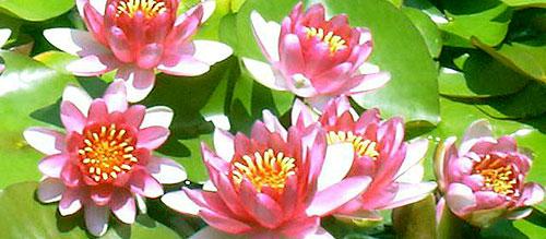 Водяная лилия нимфея