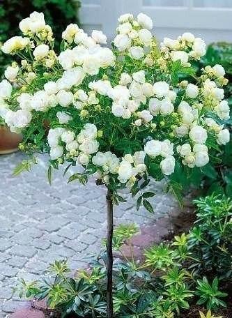 Белая штамбовая роза