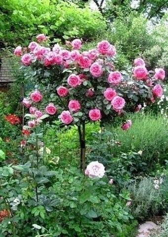 Штамбовая роза розового цвета