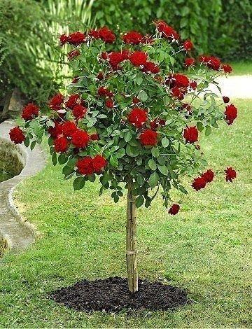 Красная штамбовая роза