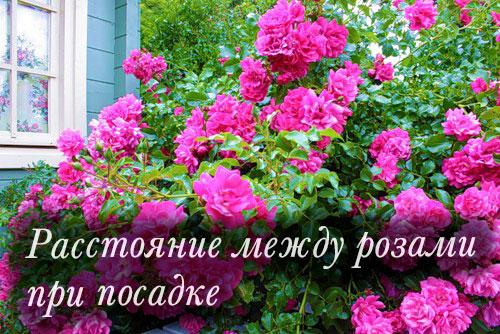 Расстояние между розами при посадке