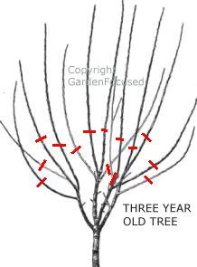 Как обрезать сливу весной  - обрезка трехлетней сливы