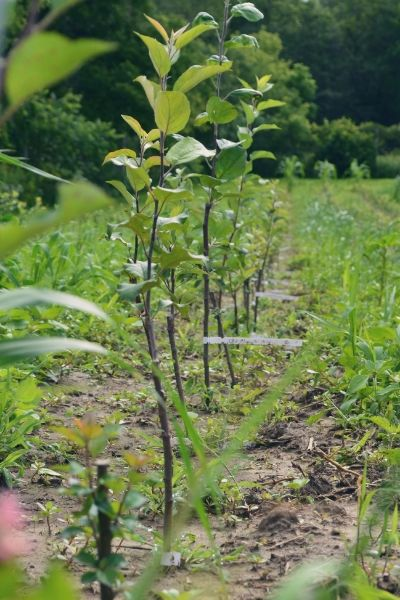 Посадки плодовых деревьев на участке
